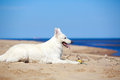 Swiss shepherd dog white n beach Royalty Free Stock Photo
