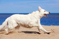 Swiss shepherd dog white n beach Royalty Free Stock Images