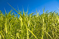 Switchgrass Stock Photography