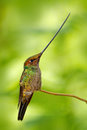 Sword-billed hummingbird, Ensifera ensifera, bird with unbelievable longest bill, nature forest habitat, Ecuador. Long beak longer Royalty Free Stock Photo