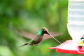 Sword billed hummingbird ensifera ensifera in guango ecuador south america Stock Image