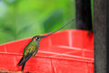 Sword billed hummingbird ensifera ensifera in guango ecuador south america Stock Images