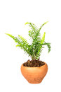 Sword Fern or Fishbone Fern in flower pot on white background Royalty Free Stock Photo