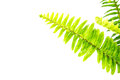 Sword Fern or Fishbone Fern on white background Royalty Free Stock Photo