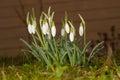 Swowdrop in springtime Royalty Free Stock Photos
