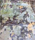 Sycamore bark green and brown background Royalty Free Stock Photography