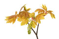 Sycamore fresh new leaves and flower of a tree isolated against white Stock Images