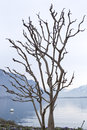 Sycamore without leaves on the shores of lake geneva Royalty Free Stock Photo