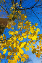 Sycamore maple in autumnal colors with a blue sky Stock Images