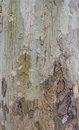 Sycamore tree bark texture Royalty Free Stock Photo