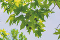 Sycamore tree leaves and seeds Stock Photography