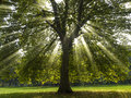 Sycamore Tree in the Sun Stock Photo