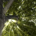 Sycamore Tree and Sun Rays Royalty Free Stock Images