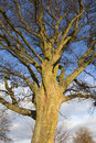 Sycamore tree in winter a mature with patterned bark and bare twig branches under a blue cloudy sky Stock Image