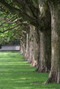 Sycamore trees in a row Royalty Free Stock Photos