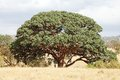Sycomore fig ficus sycomorus in the african savanna Stock Photos