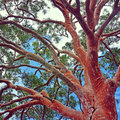 Sydney Red Gum tree Angophora costata Royalty Free Stock Photo