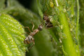 The symbiosis of ants and aphids. Ant tending his flock on green leaves Royalty Free Stock Photo