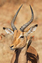 Symbiosis impala with oxpecker kruger park south africa Royalty Free Stock Photos