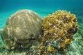 Symmetrical brain coral and bladed fire coral underwater life diploria strigosa millepora complanata grand bahamas atlantic ocean Royalty Free Stock Photo