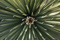 Symmetrical yucca plant seen above Stock Photo
