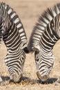 Symmetrical zebras kruger park south africa equus zebra Royalty Free Stock Photo
