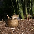 Sympatic duck relaxing and lazing in the sun