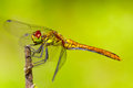 Sympetrum sanguineum ruddy darter dragonfly sitting on a branch Royalty Free Stock Image