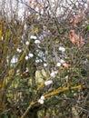 Symphoricarpos albus, snowberry white berries shrub background a Royalty Free Stock Photo