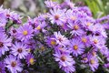 Symphyotrichum novi-belgii New York aster ornamental autumn plant in bloom Royalty Free Stock Photo