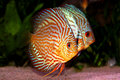 Symphysodon discus in aquarium Royalty Free Stock Photo