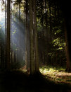 Syn rays in the wood Royalty Free Stock Photography