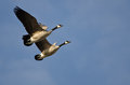 Synchronized flying demonstration by a pair of canada geese in blue sky Stock Image