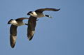 Synchronized flying demonstration by a pair of canada geese in blue sky Stock Photo