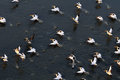 Synchronous flight of White Pelicans over Manych lake Royalty Free Stock Photo