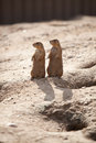 Syncronized Prairie Dogs and their Shadows Royalty Free Stock Photo