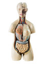 Synthetic human torso model with organs Royalty Free Stock Photo