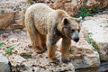 Syrian brown bear Stock Image