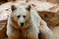 Syrian brown bear Royalty Free Stock Photo