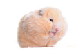Syrian hamster eating bakery isolated on white background Stock Photo