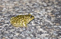 Syrian spadefoot pelobates syriacus a is standing on a road Royalty Free Stock Photos