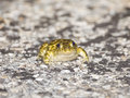 Syrian spadefoot pelobates syriacus a is standing on a road Stock Photography