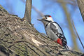 Syrian woodpecker Royalty Free Stock Image