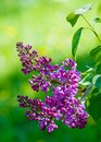 Syringa Lilac Species Of Flowering Woody Plants In The Olive Family Native To Woodland And Scrub From Southeastern Europe To