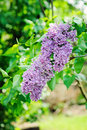 Syringa Vulgaris Flowers Close...