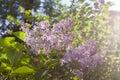 Syringa vulgaris lilac or common lilac Stock Photos