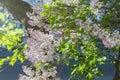 Syringa vulgaris lilac or common lilac Stock Photo