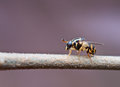 Syrphid fly Stock Photo
