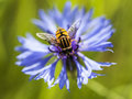 Syrphidae sits on a cornflower flower, Royalty Free Stock Photo