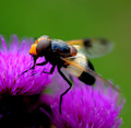 Syrphidae is small type of wasp Stock Image